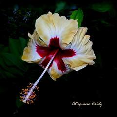 Hibisco/Hibiscus (Altagracia Aristy Sánchez) Tags: hibisco hibiscus laromana quisqueya republicadominicana dominicanrepublic caribe caribbean caraïbe antillas antilles trópico tropic américa fujifilmfinepixhs10 fujifinepixhs10 fujihs10altagracia aristy