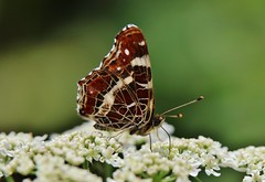 Arachnia prorsa (Hugo von Schreck) Tags: hugovonschreck schmetterling butterfly macro makro insect insekt falter canoneos5dsr