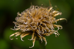 Clematis Seedhead (alison's daily photo) Tags: macromondays macro clematis seedhead texturememberschoice