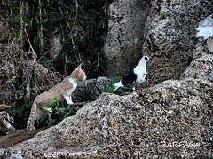 The moment of concentration (d.arfaoui) Tags: animal cat calme forest paloma pigon chase création chat incroyable summer garden gata action été