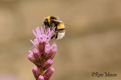 Bee (Rene Mensen) Tags: bee insect flower purple macro garden emmen thenetherlands drenthe nature rene mensen nikon d5100