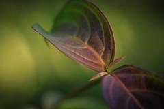 Leaf (Ancheru) Tags: leaf blatt leaves blätter grün green rot red grünrot nature natur natural natürlich life leben bokeh ancheru texture textur sunlight sonnenlicht macro makro macrodreams