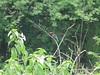 White breasted Kingfisher (Greencraftingkid) Tags: himayatsagar birding naturewalk nature