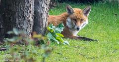 It's Hard Work Being A Fox (M C Smith) Tags: fox tree grass green pentax k3ii bokeh
