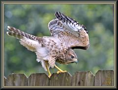 Take a bow (WanaM3) Tags: wanam3 nikon d7100 nikond7100 texas houston neighborhood outdoors nature wildlife animal bird raptor hawk redshoulderedhawk