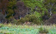 Jill and her Joey in the Bush! (maginoz1) Tags: landscape flora fauna kangaroo cat franky gumtree bush tranquility winter july 2017 bulla melbourne victoria australia canon g3x