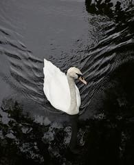 White Swan - Black Water (rivadock4) Tags: klyemore abbey mute swan black water white connemara klyemoreabbey muteswan blackwater whiteswan