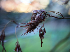 Somewhere, In A Garden (Rantz) Tags: australia australiancapitalterritory bokeh canberra dikaiosyne rantz sooc straightoutofcamera acton au