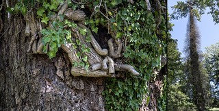English Ivy Strangling a Tree