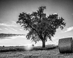 A Sunset, a Tree and a Bale of Straw... (Ody on the mount) Tags: anlässe bäume em5ii fototour hdr himmel licht lichtstimmung mzuiko2518 omd olympus pflanzen schwäbischealb sonnenuntergang bw monochrome sw