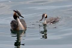 Lezioni di pesca (kyry2010) Tags: svasso maggiore lago svassi bird uccelli birdwatching vogel oiseaux animal animali