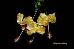 Hibiscos/Hibiscus (Altagracia Aristy Sánchez) Tags: hibiscos hibisco hibiscus cayena dominicanrepublic caribe caribbean caraïbe antillas antilles trópico tropic américa fujifilmfinepixhs10 fujifinepixhs10 fujihs10 fondonegro sfondonero altagraciaaristy laromana blackbackground dominicana repúblicadominicana