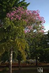 Jataí, Goiás, Brasil (Proflázaro) Tags: brasil goiás jataí parqueecológicodiacuy árvore bosque cidade natureza ecologia cerrado flores paisagemurbana