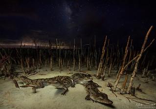 American Crocodile Starscape