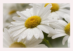 """""""Don't worry, Be happy!"""" - ODC challenge (Karon Elliott Edleson) Tags: daisies macro flowers happiness happy worryfree dontworrybehappy odc ourdailychallenge water waterdrops"""