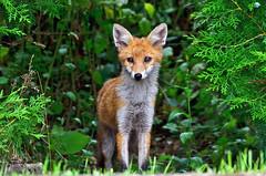 DSC_1365 Fox (sylvettet) Tags: renard fox 2017 nature sauvage roux