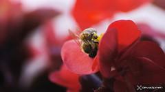 honey time  / 200717255 (devadipmen) Tags: aerialphotographer arıbee begonyaçiçeğibegoniaflower çiçekflower landscapephotographer macro macrophoto naturephotographer
