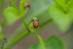 Macro-LadyBugs_233 (ZieBee Media) Tags: ladybug garden