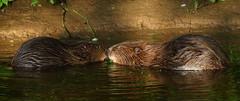 Affection (Robin M Morrison) Tags: beaver river otter devon