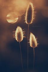 Dreaming Light (Carla Mountain Spirit) Tags: grass fluffy plants againstlight sunrise silhouettes nature carlafreire