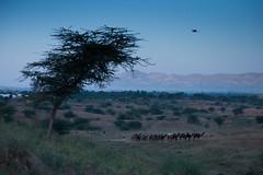 PushkarCamelFair_205 (SaurabhChatterjee) Tags: camel cattlefair desert desertsafari festivalsofindia festivalsofrajasthan pushkar pushkarcattlefairimages pushkarimages pushkarmela pushkarrajasthan saurabhchatterjee siaphototours siaphotographyin