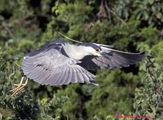 Black-Crowned Night Heron (rumerbob) Tags: blackcrownednightheron nightheron heron shorebird waterbird bird birdwatching birdwatcher oceancitynj wildlife canon7dmarkii canon100400mmlens