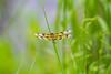 Halloween Pennant (SashaAzevedoPhotography) Tags: nature wildlife entomology insects odonata dragonfly halloweenpennant celithemiseponina charleston southcarolina sashaazevedo 2013photos