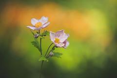 Japanese Anemone (paulapics2) Tags: fleur flora floral blümen anemone japaneseanemone nature garden plant outdoor hydehallgardens rhshydehall july depthoffield bokeh colourful canoneos5dmarkiii canonef70300mmf456lisusm