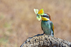 Ahora mariposa (sergio estevez) Tags: aves amarillo azul verde rojo abejaruco pajaros bokeh color campodegibraltar luz naturaleza nikonafs300mmf4 kenko15x posadero sergioestevez