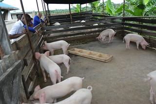 ADINA pig farm