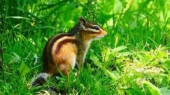 Squirrel - 3348 (YᗩSᗰIᘉᗴ HᗴᘉS +6 500 000 thx❀) Tags: squirrel écureuil animal nature lahulpe belgium belgique europe europa panasonic