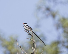 _J3A7092 7D Mark ll Tamron 150-600mm G2 Pin-tailed Whydah male (greaves_russell) Tags: bigmorongocanyonpreserve boxcanyonrd nature animals tattoodesigns tattoos fitness travel sprint overstock people music flickr dancingwiththestars games oops bing foxnews espn cars target bestbut bolsachicawetlands wildlife jobs locations typesofclothing professions days hours minutes dog cat fish bird cow moon world earth forest sky plant wind flower amazon ocean river mountain rain snow tree sanjoaquin anzaborrego huntingtonbeach disneyland knottsberryfarm sandiego forsterstern