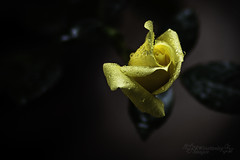 Yellow Rose (Kipperwin) Tags: rose roses yellowroses yellow flora flowers plants raindrops dewdrops