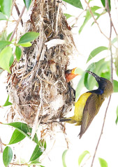 olive-backed sunbird (kampang) Tags: olivebackedsunbird cinnyrisjugularis moneybird