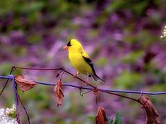 Yellow Finch (smalld1171) Tags: bird finch yellow nature field