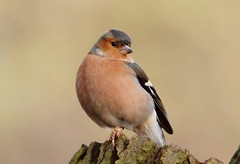 Mr Chaffinch  (Explored) (Bogger3.) Tags: malechaffinch venuspool plump tree dof canon600d tamron150x600lens fullzoom sunrays5 coth coth5