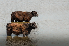 Bathing cows (gitte123) Tags: cow water galloway bathing