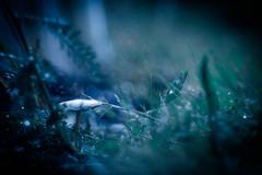 Magic surrounds us (ursulamller900) Tags: trioplan2950 mygarden magical mushroom pilze bokeh blue