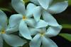 Stars (Rajavelu1) Tags: flowers white yellow depthoffield green macrophotograph art creative dslr canon60d canonef100mmf28lisusmmacro simplysuperb itsallaboutflowers