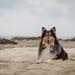 29/52 Leia, wait... (shila009) Tags: lea roughcollie perro dog beach portrait retrato playa verano summer smile happy 2952 airelibre natural animal sand arena