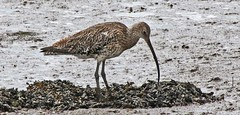 Curlew (Rinkly Ron) Tags: curlew