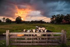 First Light (Michael Angelo 77) Tags: sky cows leefilters ndgrad09 canon eos5dmiii zenderen twente nederland fencefriday sunset air clouds