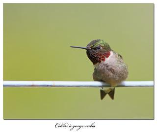 Colibri à gorge rubis / Ruby-Throated Hummingbird  153A1374