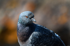 Lustrous and handsome (Rico the noob) Tags: dof 300mm nature d500 birds outdoor madeira animal tc14eiii 2017 macro 300mmf4pf pigeon published animals eye bokeh closeup bird
