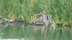 Mallard in flight (m2onen) Tags: mallard duck wildduck bird anasplatyrhynchos birds waterfowl bif birdinflight inflight flying birding birdwatching sony a6300 sal70400g 70400mm laea3