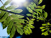 leaves (Jacobi LIN) Tags: olympus summer plant green light 45mm mzd45 ep2 f18