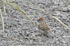 Chipping Sparrow 6-13-17 Steigerwald National Wildlife Refuge (noblebunny) Tags: birds chipping sparrow pacific northwest