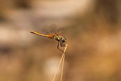 Libellula Ilaria. (SimonaPolp) Tags: dragonfly bug animal wildlife bokeh bianchi july summer wings gold grass nature macronature