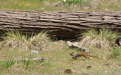 Camera Shy Ground Squirrel in Yosemite National Park (Vee living life to the full) Tags: nikond300 2017 holiday travel tourism tourist placestovisit traveller pleasure usa california leisure sky blue clouds dry hot haze walking driving temperature 80degreesplus nevada utah arizona distance layers limestone sandstone water evaporation disintegration weathering leger erosion roads route american vehicle rocks rock cliff sheer drop mountains skyline horizon sitting geology sedimentary compression uplift wild road formation monuments valley pine trees yosemite