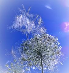 DSC03064 (fournierd) Tags: sun flower wishes